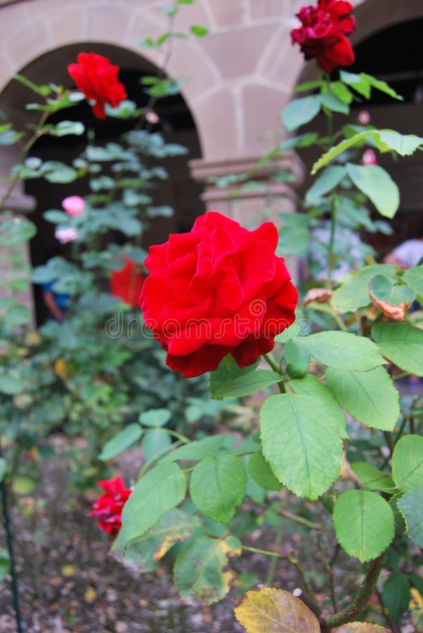 Rosa Santo Toribio de Liébana Cantábria do vermelho foto de stock