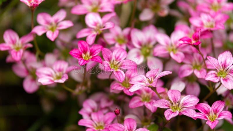 Rosa Saxifraga Waliser stieg Blumenwachsen in einem Rockery, alpiner Garten stockfotografie