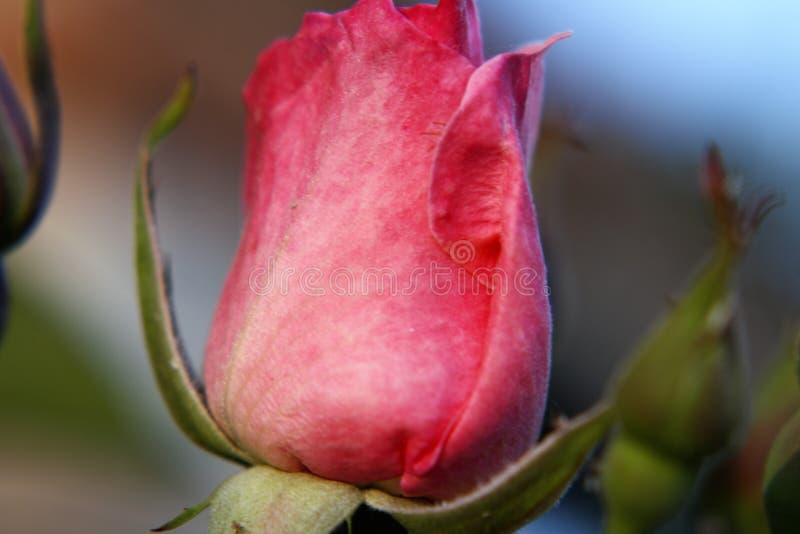 Rosa scharlakansröd makronatur royaltyfria foton