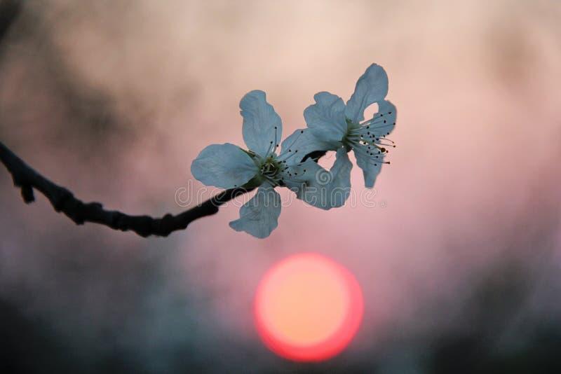 Rosa scuro e tramonto arancio con Cherry Blossom Flowers bianco immagini stock libere da diritti