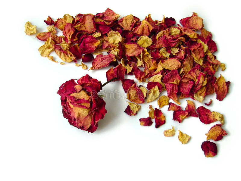 Rosa seca foto de stock royalty free