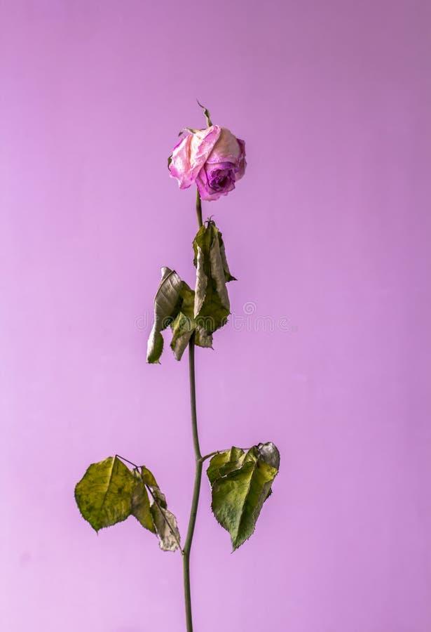 Rosa seca em um fundo cor-de-rosa Do sum?rio vida ainda Minimalismo conceptual imagem de stock