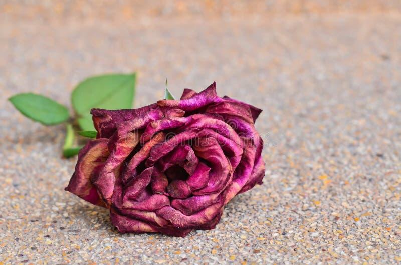 Rosa seca hermosa del rojo fotografía de archivo
