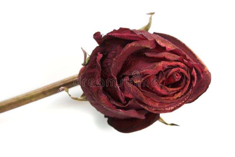 Rosa - secca fotografia stock libera da diritti