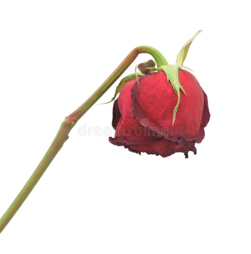 Rosa secca, isolata immagini stock libere da diritti
