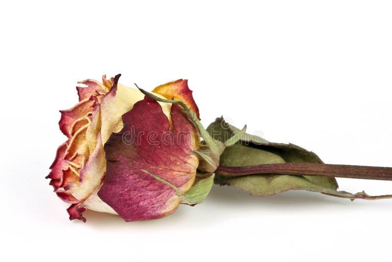 Rosa secca, isolata immagine stock