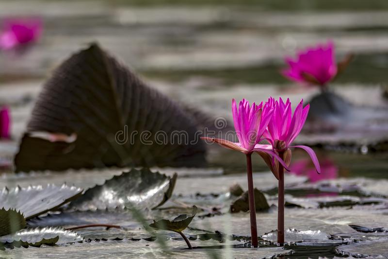 Rosa Seerose auf einem See - ruhige Szene stockbilder
