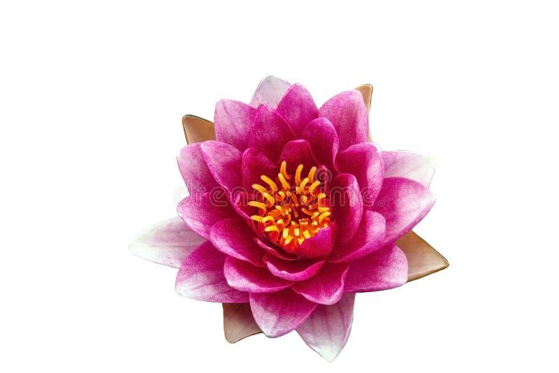 Rosa Seerose lokalisiert auf weißem Hintergrund lizenzfreies stockbild