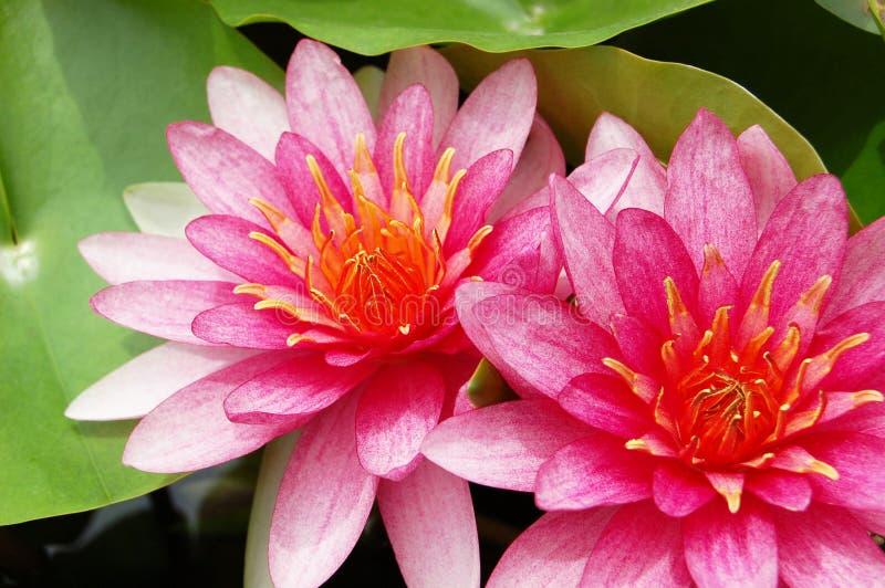 Rosa Seerose, Lotosblumen-Nahaufnahmeszene auf grünem Blatt im Garten lizenzfreies stockfoto