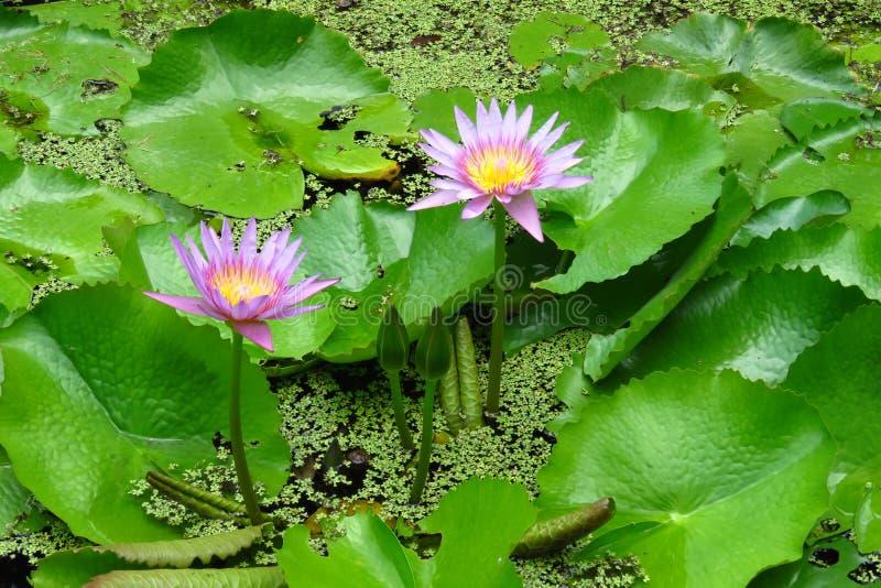 Rosa Seerosen an Moir-Gärten, Kauai, Hawaii lizenzfreie stockfotografie