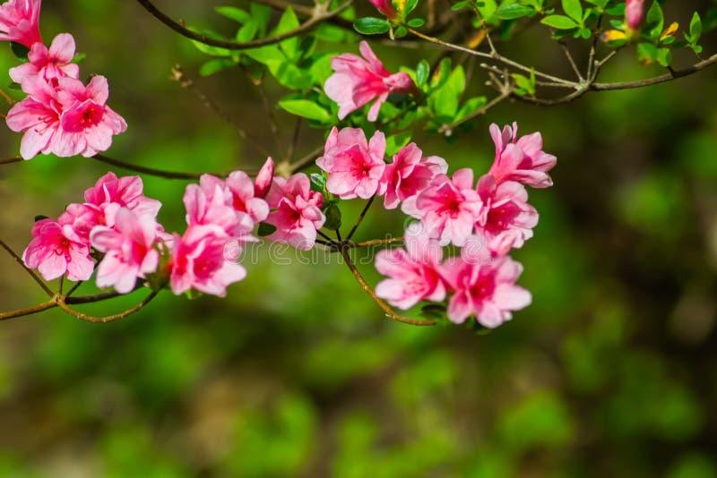 Rosa selvagem Azalea Flowers da montanha apalaches imagens de stock