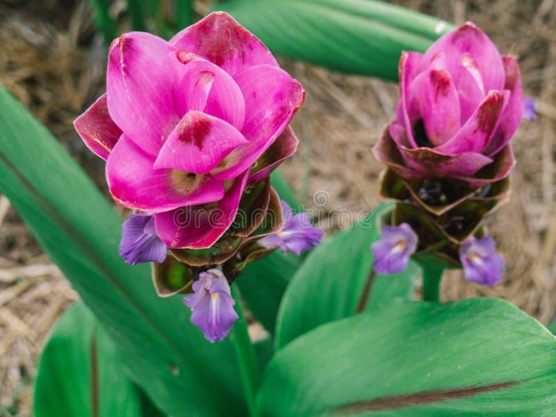 Rosa Siam Tulip oder Kurkuma sessilis blühen in Thailand stockfotos