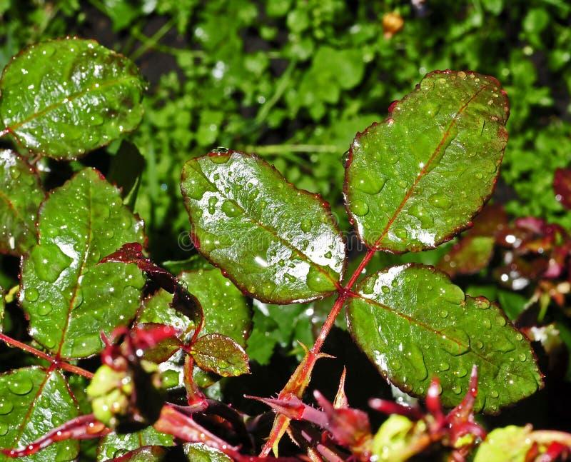 Rosa sidor med regndroppar, smalt fokusområde arkivbilder
