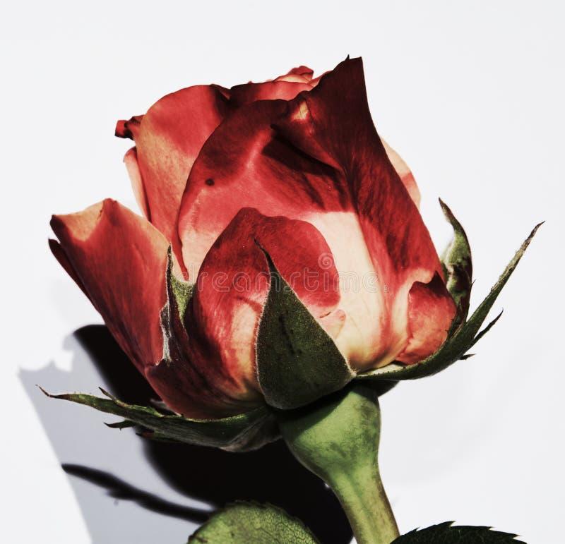 Rosa, simbolo di bellezza immagini stock