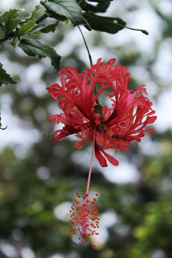 Rosa sinensis royaltyfria bilder
