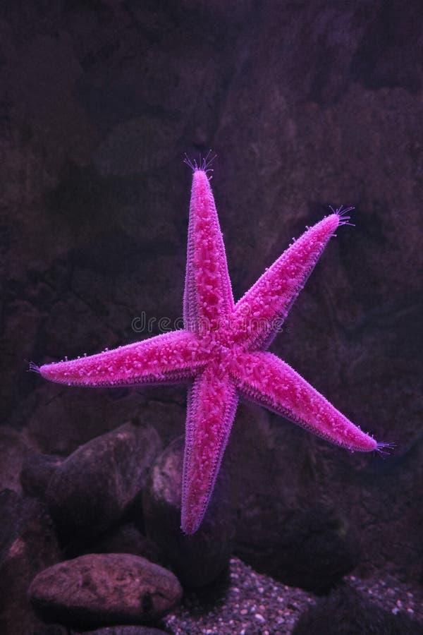 Rosa sjöstjärna som klibbas till exponeringsglaset fotografering för bildbyråer