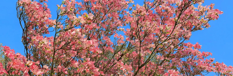 Rosa skogskornellblom - panorama royaltyfria bilder