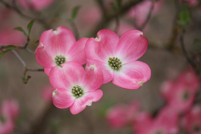 Rosa skogskornellfilialklunga av tre blom arkivfoton