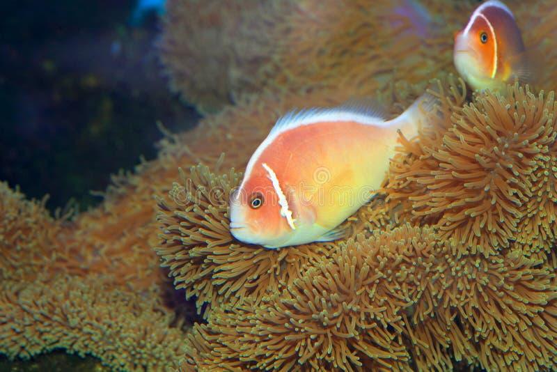Rosa skunkclownfish royaltyfri bild