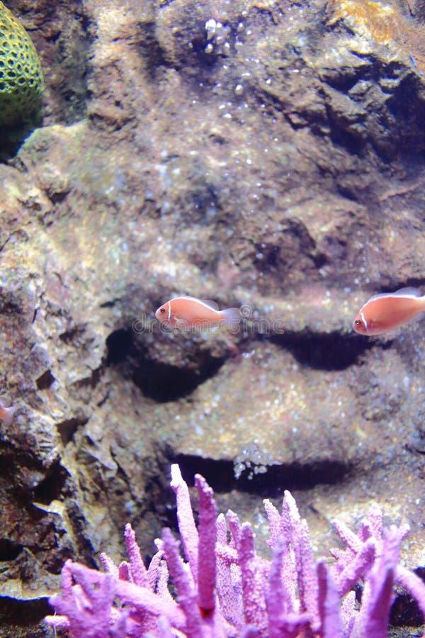 Rosa skunkclownfish royaltyfria bilder