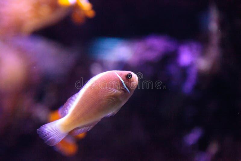 Rosa skunkclownfish kallade den Amphiprion perideraionen royaltyfri foto
