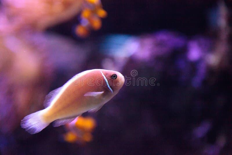Rosa skunkclownfish kallade den Amphiprion perideraionen arkivbild