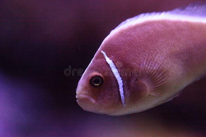 Rosa skunkclownfish kallade den Amphiprion perideraionen royaltyfri fotografi