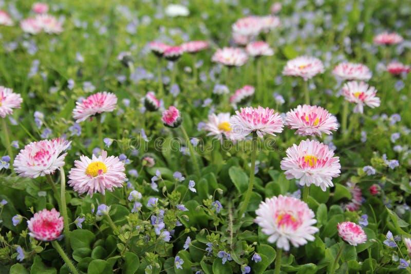 Rosa små blommor - tusensköna royaltyfri fotografi