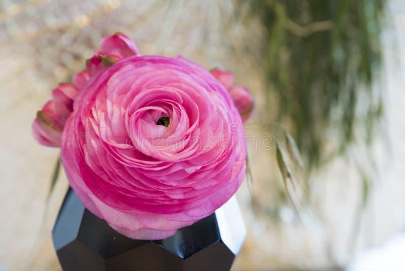 Rosa smörblomma royaltyfri foto