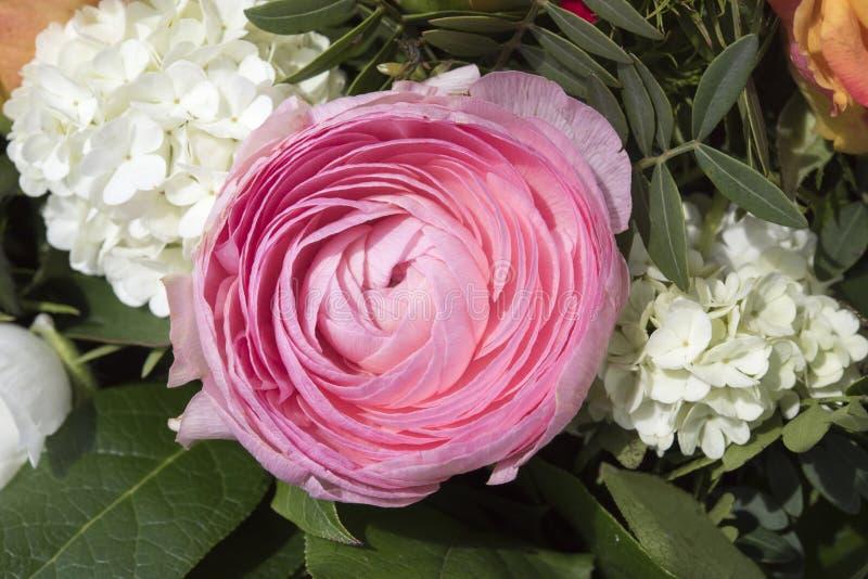 Rosa smörblomma royaltyfri fotografi