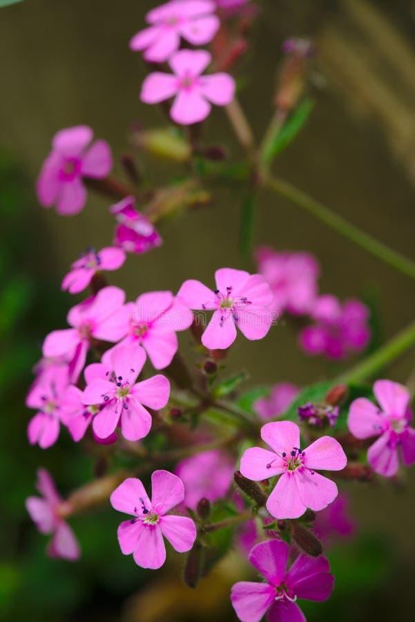 Rosa Soapwortblumen sagten zu den Basilikumblättern lizenzfreie stockfotos
