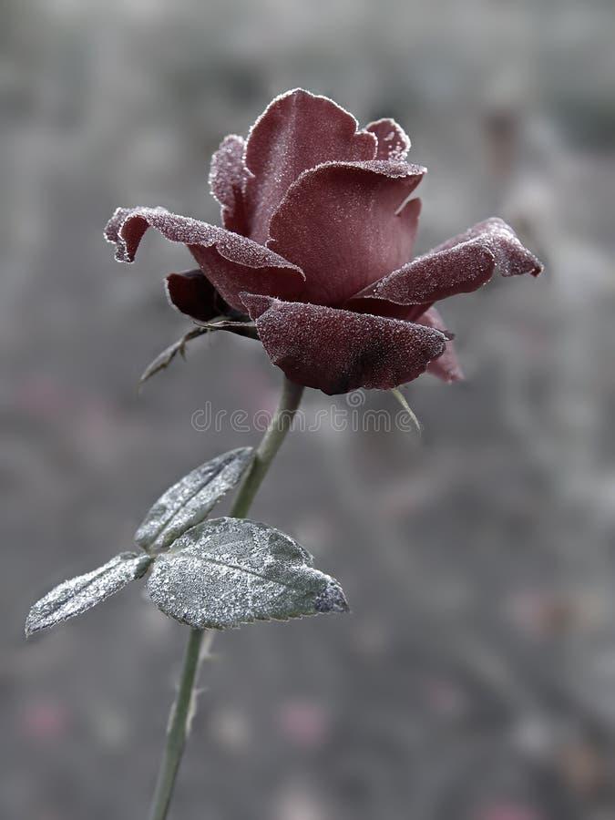 Rosa sob o hoar-frost fotografia de stock