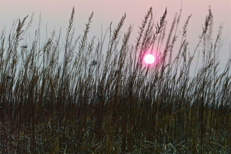 Rosa solnedgångsol i en dimmig grå himmel mellan stammarna av torrt brunt gräs fotografering för bildbyråer