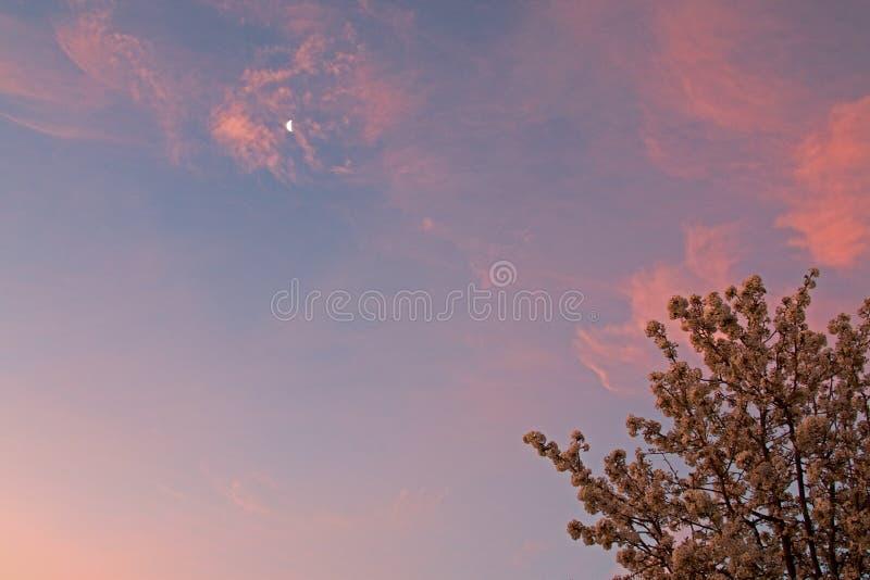 Rosa soluppgång med morgonmånen över Cherry Tree i blomning i antilopdalen i den höga öknen av sydliga Kalifornien USA royaltyfri bild