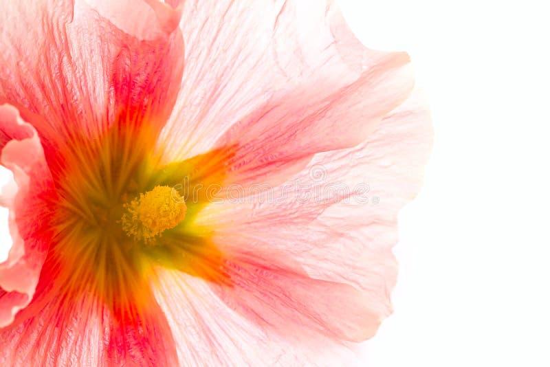 rosa sommar för blomma arkivfoto
