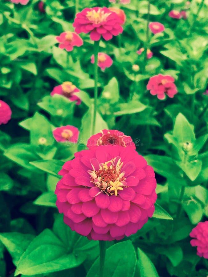Rosa Sommer-Blumen-Garten stockbilder