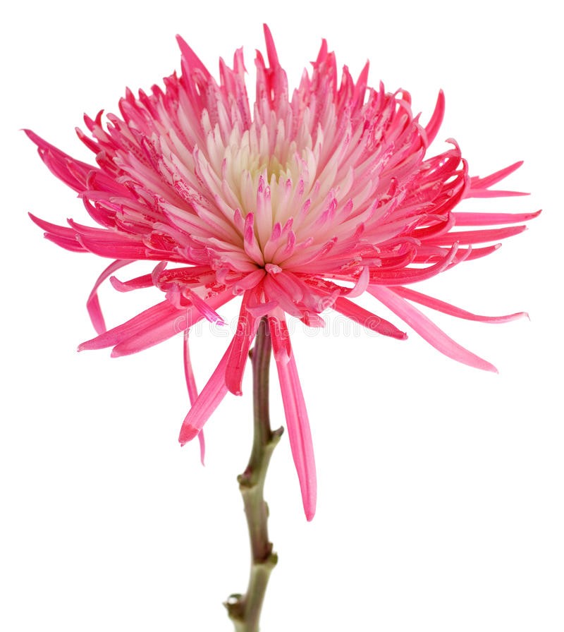 rosa spindel för mum royaltyfri bild