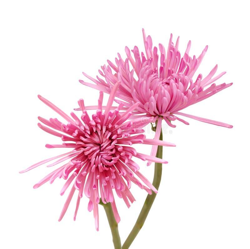 Rosa spindelmum royaltyfri foto