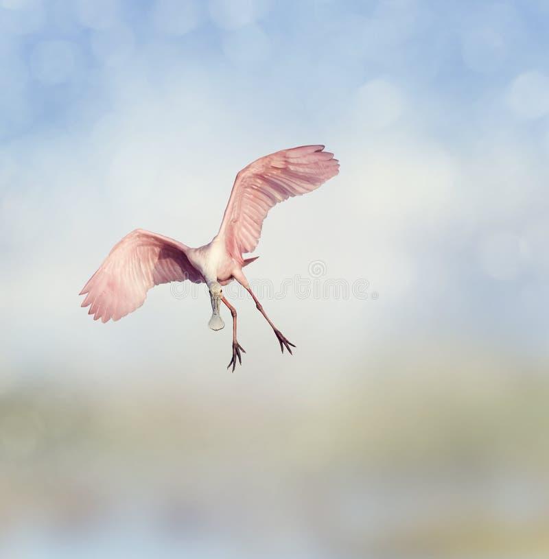 Rosa Spoonbill stockfoto