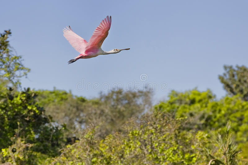 Rosa Spoonbill im Flug stockfotos