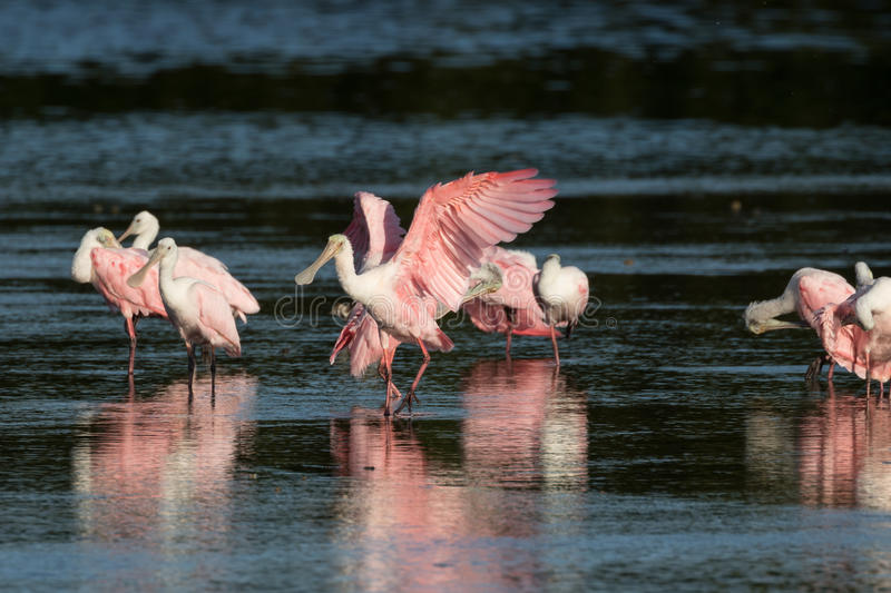 Rosa Spoonbills, J n `` Klingeln `` Darling National Wildlife Refu stockbild