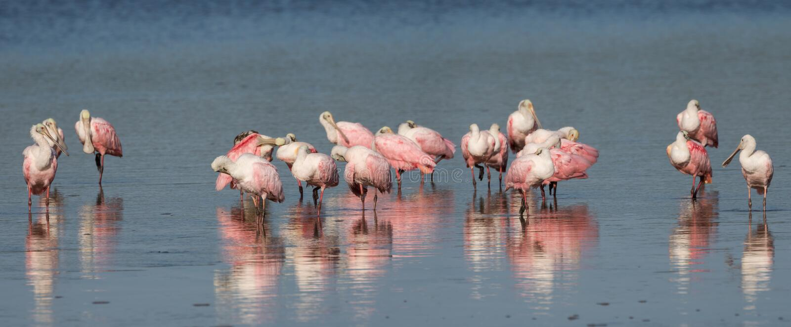 Rosa Spoonbills, J n `` Klingeln `` Darling National Wildlife Refu stockbilder