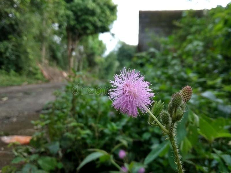 rosa stamens arkivfoton
