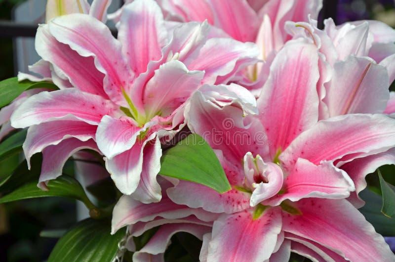 Rosa Sternguckerlilienblumen stockfoto