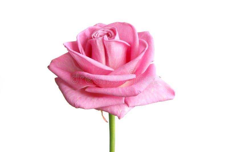 Rosa stieg lizenzfreie stockbilder