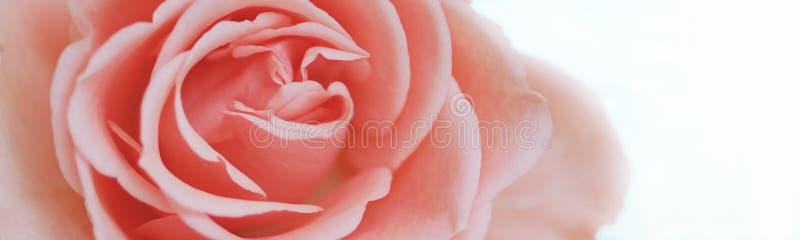 Rosa stieg lizenzfreies stockbild