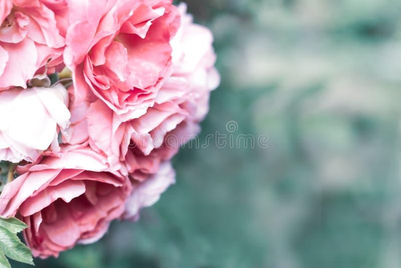 Rosa stieg auf einen undeutlichen kalten grünen belaubten Hintergrund mit Kopienraum Romantischer Hochzeitshintergrund stockfotos