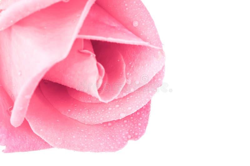 Rosa stieg auf weißen Hintergrund. lizenzfreies stockfoto