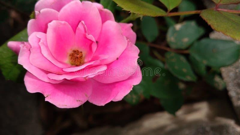 Rosa stieg stockbilder
