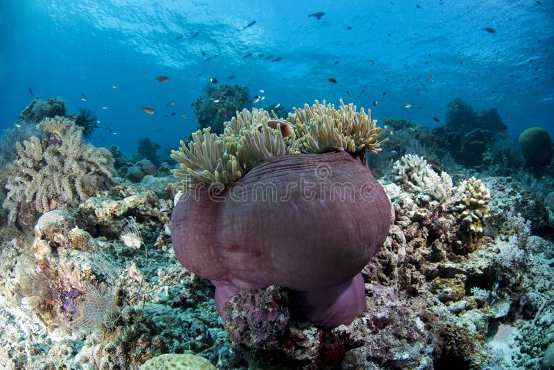 Rosa Stinktier Clownfish-Amphiprion perideraion stockbild